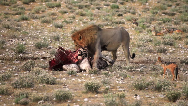 lion tugging at zebra carcass with jackals watching - violence stock videos & royalty-free footage