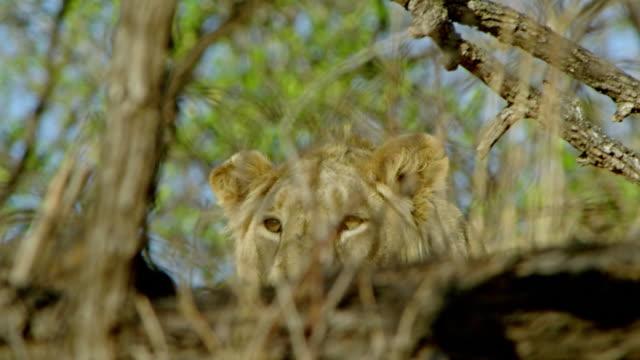 vídeos y material grabado en eventos de stock de lion - animales acechando