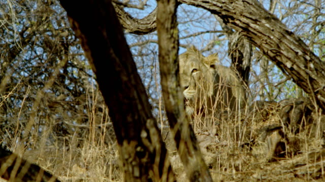 vidéos et rushes de lion - lion
