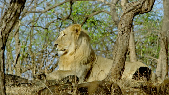 lion - danger stock videos & royalty-free footage