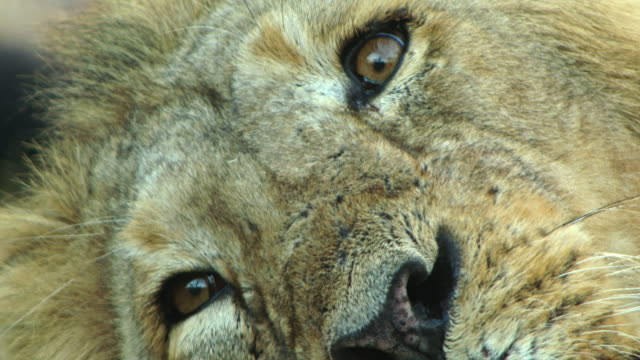 lion - animal eye stock videos & royalty-free footage