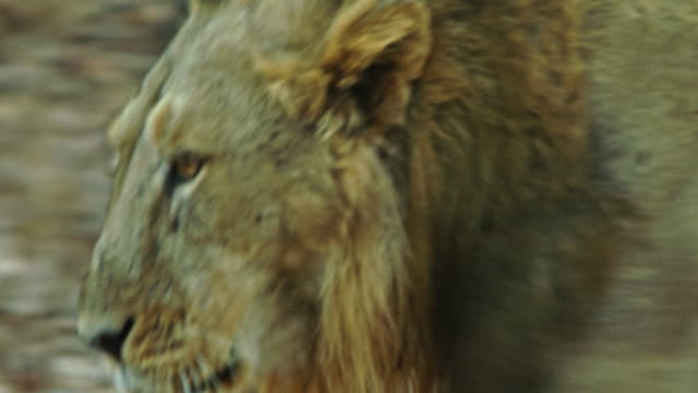lion - male animal stock videos & royalty-free footage