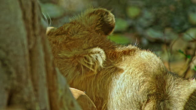 lion - young animal stock-videos und b-roll-filmmaterial
