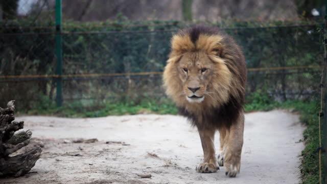 vídeos de stock e filmes b-roll de leão - jardim zoológico
