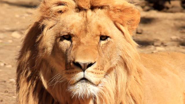 lion - one animal stock videos & royalty-free footage