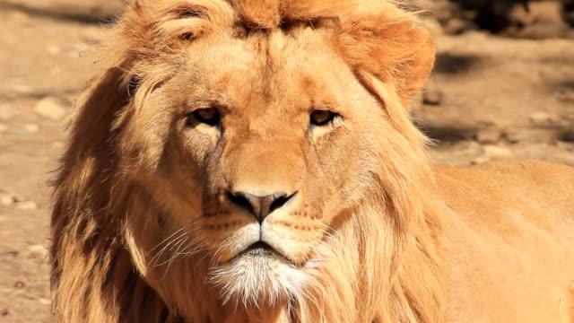 lion - djurpark bildbanksvideor och videomaterial från bakom kulisserna