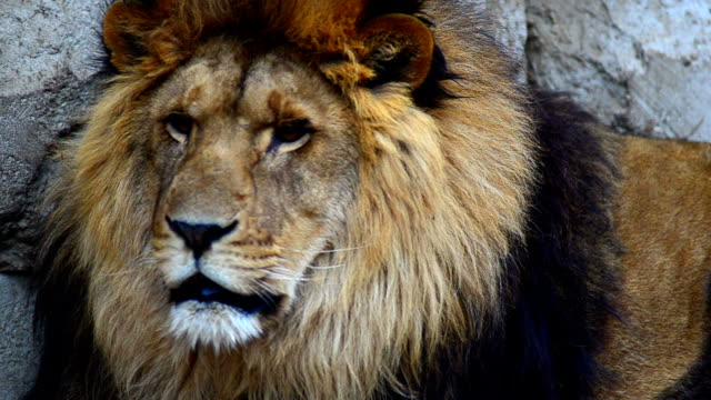 lion - beckoning stock videos & royalty-free footage