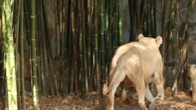 ライオンます。