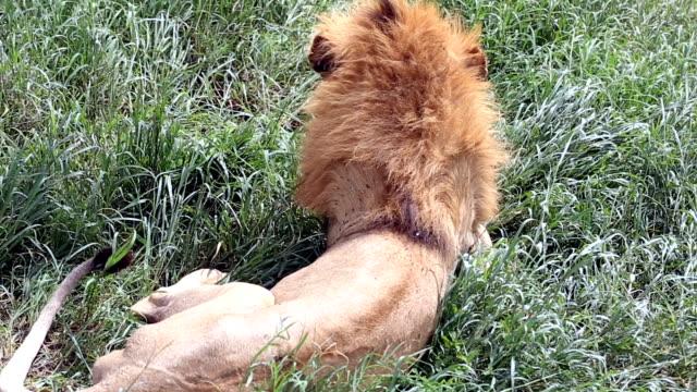 vídeos de stock e filmes b-roll de lion - leão