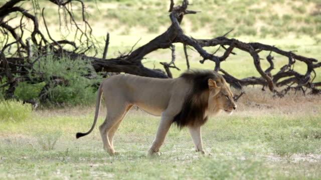 Lion walking across grassland, Kgalagadi Transfrontier Park, South Africa