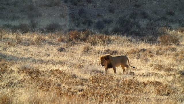 ws pan lion (panthera leo) walking across savannah / namibia - wide shot stock videos & royalty-free footage