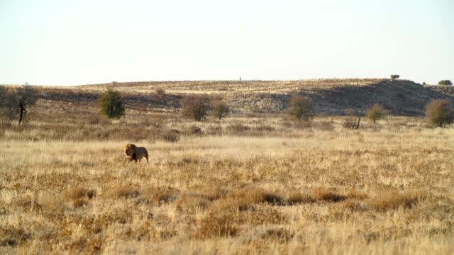 WS LD Lion walking across savannah / Namibia