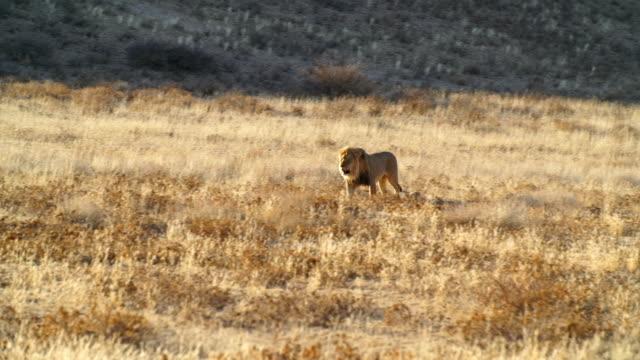 ws pan lion walking across savannah / namibia - wide shot stock videos & royalty-free footage