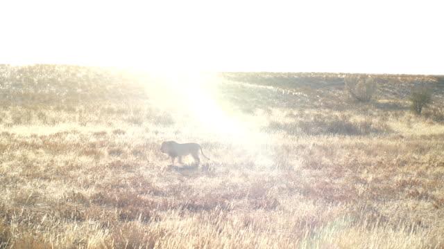 ws lion walking across savannah / namibia - wide shot stock videos & royalty-free footage