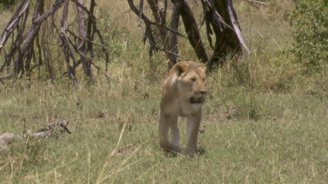 ms lion walking and then standing in grass / tanzania  - standing stock videos & royalty-free footage