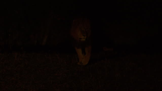 ms pov lion walking at night / tanzania - night vision stock videos and b-roll footage