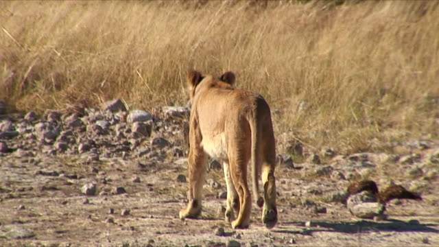 WS Lion walking in savannah / Etosha National Park, Namibia