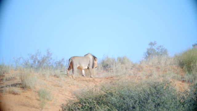 WS TS LA Lion (Panthera leo) walking in savannah / Kgalagadi Transfrontier Park, Kgalagadi District, South Africa