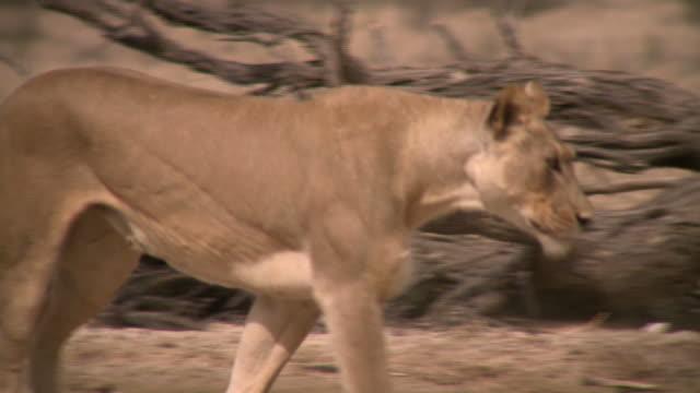 lion walking in the kalahari desert - 2010 stock videos and b-roll footage