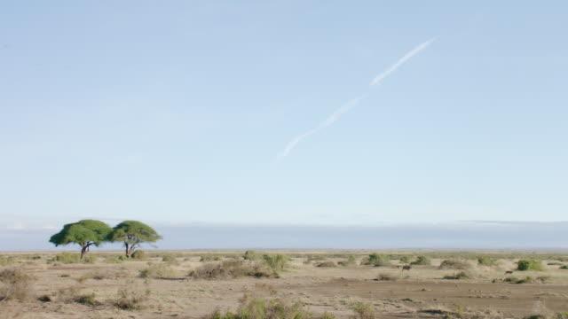 WS Lion walking on savanna landscape / Kenya