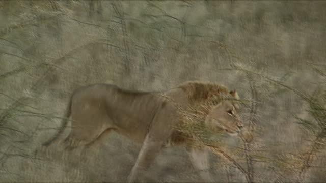 MS TS Lion walking through shrubbery / Etosha National Park, Namibia