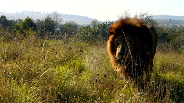 stockvideo's en b-roll-footage met lion walking towards camera/ south africa - mannetjesdier