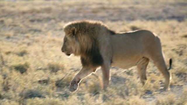 ms lion walking,etosha national park,namibia,africa - side view stock videos & royalty-free footage