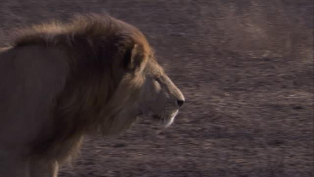"""vidéos et rushes de a lion walks across a burnt serengeti plain. available in hd. - """"bbc natural history"""""""