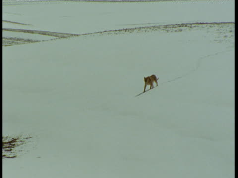 "vidéos et rushes de lion walks down snowy slope, idaho - ""bbc natural history"""