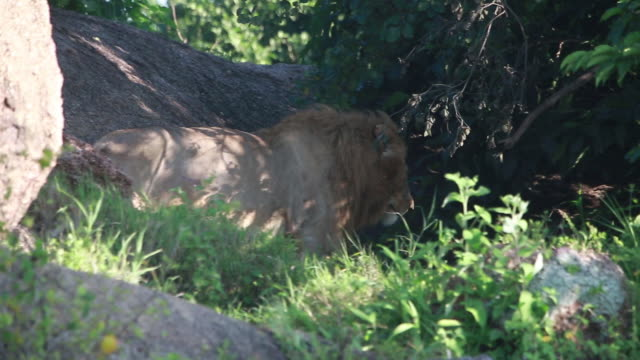 lion walks into dark stand of trees - wiese stock videos & royalty-free footage