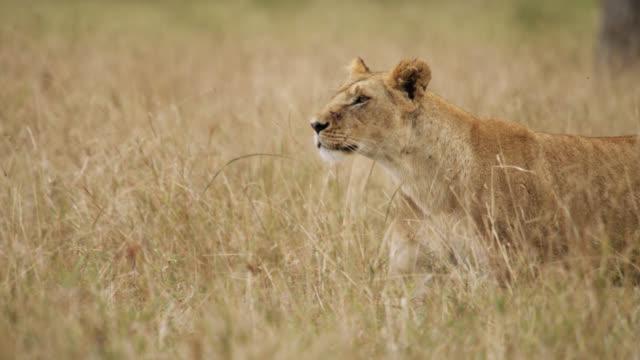 vídeos y material grabado en eventos de stock de lion (panthera leo) walks on savannah, kenya - hierba familia de la hierba