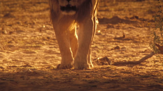 A lion walks over the sand in the Kalahari Desert. Available in HD.