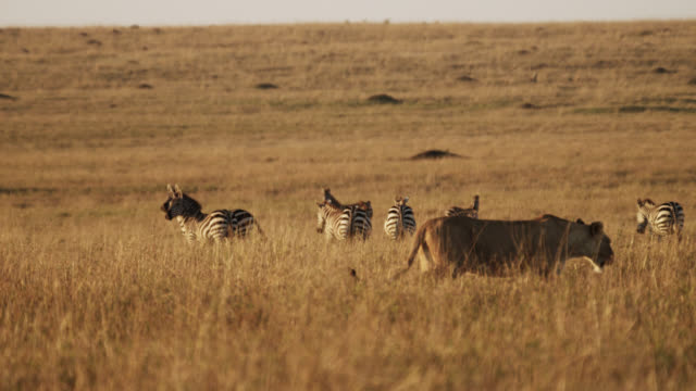 lion (panthera leo) walks past zebras on savannah, kenya - 前ボケ点の映像素材/bロール