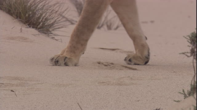 a lion walks through the desert, skeleton coast, namibia. available in hd. - namibia stock videos & royalty-free footage
