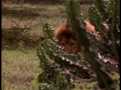 A lion wanders through dry grass.