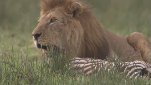 lion with carcass of zebra foal. available in hd. - grass area stock videos and b-roll footage