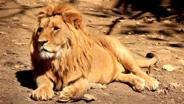 lion yawning - one animal stock videos & royalty-free footage