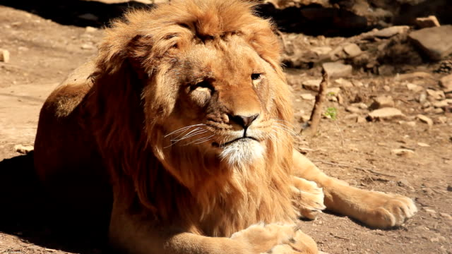 stockvideo's en b-roll-footage met lion yawning - dierentuin