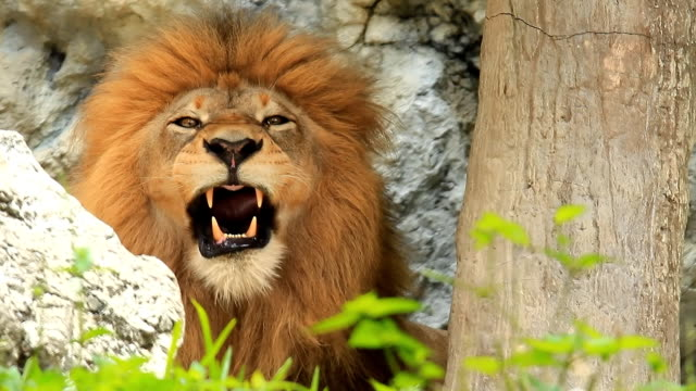 lion yawning - lion stock videos & royalty-free footage