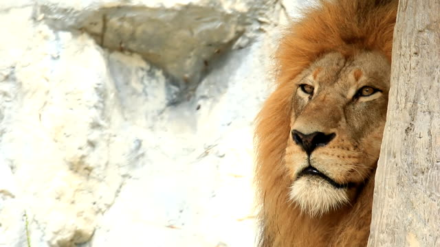 lion yawning - lion feline stock videos & royalty-free footage
