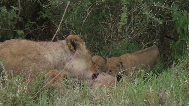 vidéos et rushes de a lioness and a lion cub eat its prey in the bush, serengeti national park, tanzania - petit groupe d'animaux