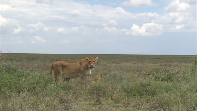 a lioness and a lion cub on the grass at serengeti national park, tanzania - carnivora stock videos and b-roll footage