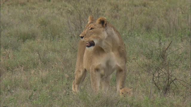 vídeos de stock, filmes e b-roll de a lioness and a lion cub on the grass in serengeti national park, tanzania - grupo pequeno de animais