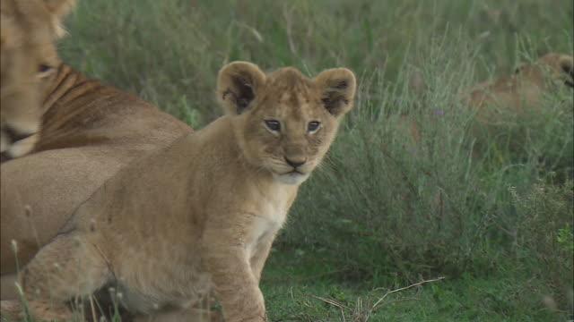vídeos de stock, filmes e b-roll de a lioness and a lion cub sitting down on the grass in serengeti national park, tanzania - bigode de animal