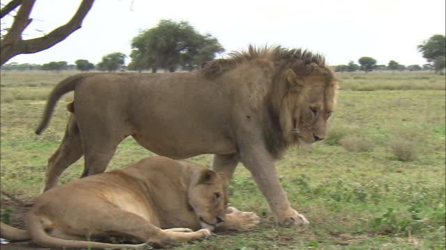 vídeos y material grabado en eventos de stock de a lioness and a lion sitting down on the grass at serengeti national park, tanzania - de cara al suelo