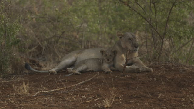 vídeos de stock e filmes b-roll de lioness and her cub resting in the shade before walking away - com sombra
