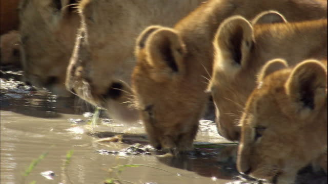 Lioness and her cubs drinking water