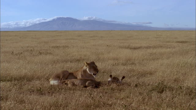 a lioness and her cubs rest and play on a grassy savanna. - young animal stock-videos und b-roll-filmmaterial