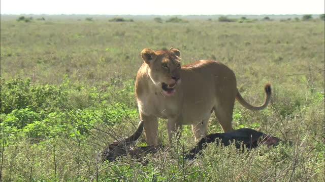 vídeos de stock, filmes e b-roll de a lioness and its prey on the grass in serengeti national park, tanzania - bigode de animal