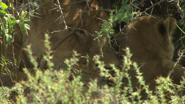 a lioness and lion cub in the bushes at serengeti national park, tanzania - carnivora stock videos and b-roll footage
